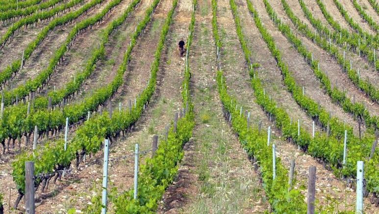 La vigne en Corse ©arte