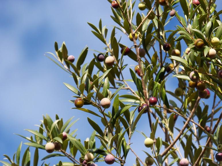 Une variété d'olivier corse
